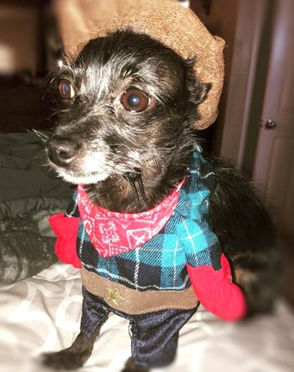 Bella, Customer Service of Aztec Perlite Company, Inc., cute black and gray chihuahua dressed in cowboy clothes
