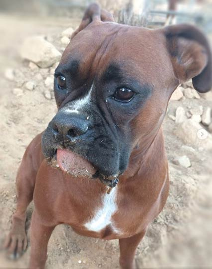 Rowdy, Security for Aztec Perlite Company, Inc., cute Boxer with tongue hanging out